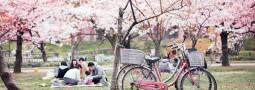 Hanami 2012, disfrutando de los cerezos en flor
